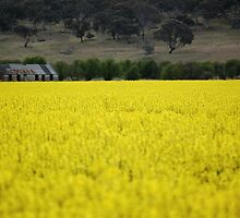 in the canola field by natalie angus