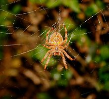 Garden Orb Spider, by AnnDixon