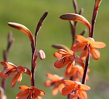Watsonia - Port Elizabeth by Rina Greeff