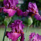Bearded Iris - Lady Friend by Gabrielle  Lees