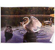 Morning Swans Poster