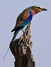 Lilac Breasted Roller by Michael  Moss