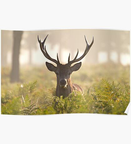 Morning Stag Poster