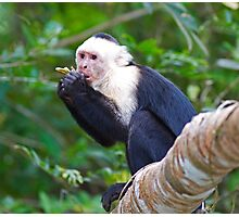 Beautiful White Faced Capuchin