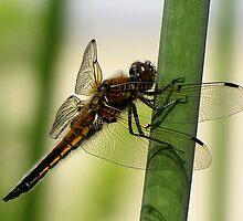 Dragonfly by Irina777