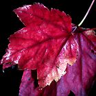 Red Fall Leaves by GlennB