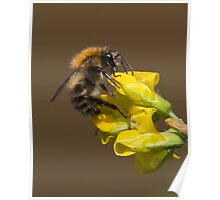 Bee on Meadow Vetchling Poster