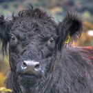 """""""Oliver"""" - The Belted Galloway Cow from Willett, NY by Edith Reynolds"""