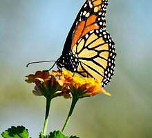 Monarch Butterfly  by Saija  Lehtonen