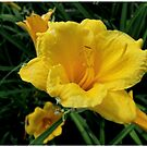 Yellow Cream by G.T.S Photos