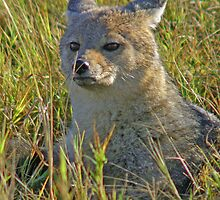 Side striped jackal by jozi1