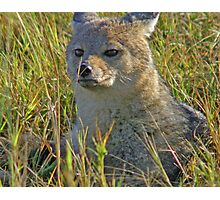 Side striped jackal Photographic Print