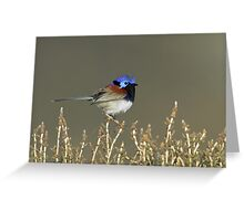 Variegated Fairywren - Lake Bindegolly, July 2010 Greeting Card