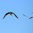 Osprey with Fish and Competition by DARRIN ALDRIDGE