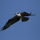Osprey Flying High by DARRIN ALDRIDGE