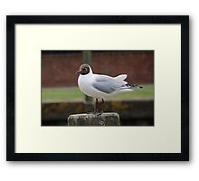 Black Headed Gull, Rye Framed Print