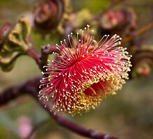 Large-fruited Mallee by BMKphotography