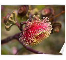 Large-fruited Mallee Poster