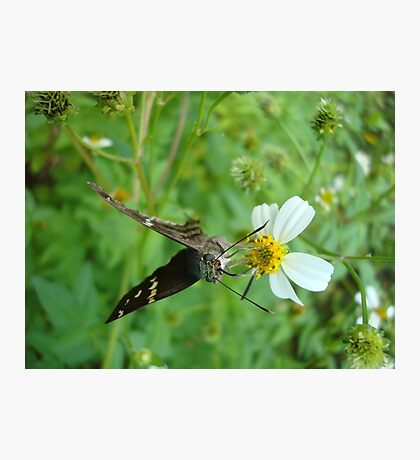 Long-tailed Blue Skipper on Spanish Needles Photographic Print