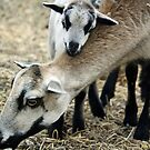 Luv you Mommy (Barbados Sheep) by Doty
