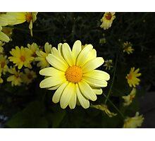 Estes Park Sunshine Daisy  Photographic Print