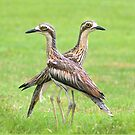 Curlew couple in the rain, Mission Beach, FNQ. by Susan Kelly