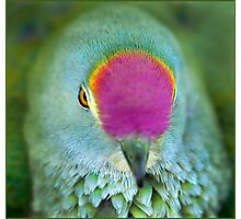 Rose Crowned Fruit Dove, Mission Beach FNQ. Photographic Print