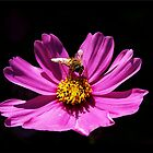Cosmos Hover Fly by jono johnson