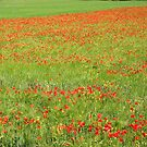 A Field of Poppies by Christine Wilson