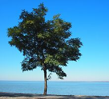 Lonely acacia tree with green leaves on the coast of the sea by vladromensky