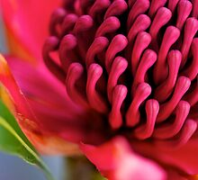 Ruby Waratah by Renee Hubbard Fine Art Photography