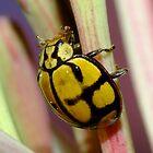 Netty Ladybird Beetle - Harmonia testudinaria by Gabrielle  Lees