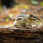 Chipmunk by Ms-Bexy