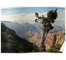 Stunted pine, North Rim, Grand Canyon Poster
