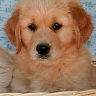 Golden Retriever Puppy by Jenny Brice