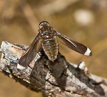 White-tipped Long-wings Beefly - Comptosia rubrifera by Barb Leopold