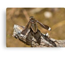 White-tipped Long-wings Beefly - Comptosia rubrifera Canvas Print