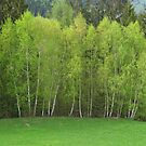 Spring Green - Birch Trees by Christine Wilson