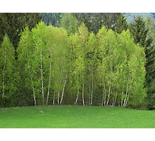 Spring Green - Birch Trees Photographic Print