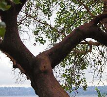 Trees Along Lake Washington by Loisb