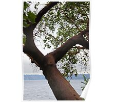 Trees Along Lake Washington Poster