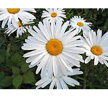 Olympia White Daisy  Photographic Print