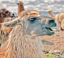 Laughing Llama by Nigel Fletcher-Jones
