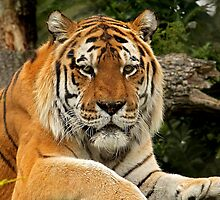 Amur Tiger by Mark Hughes