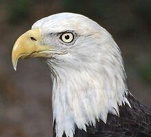 American Bald Eagle Portrait by Kathy Baccari