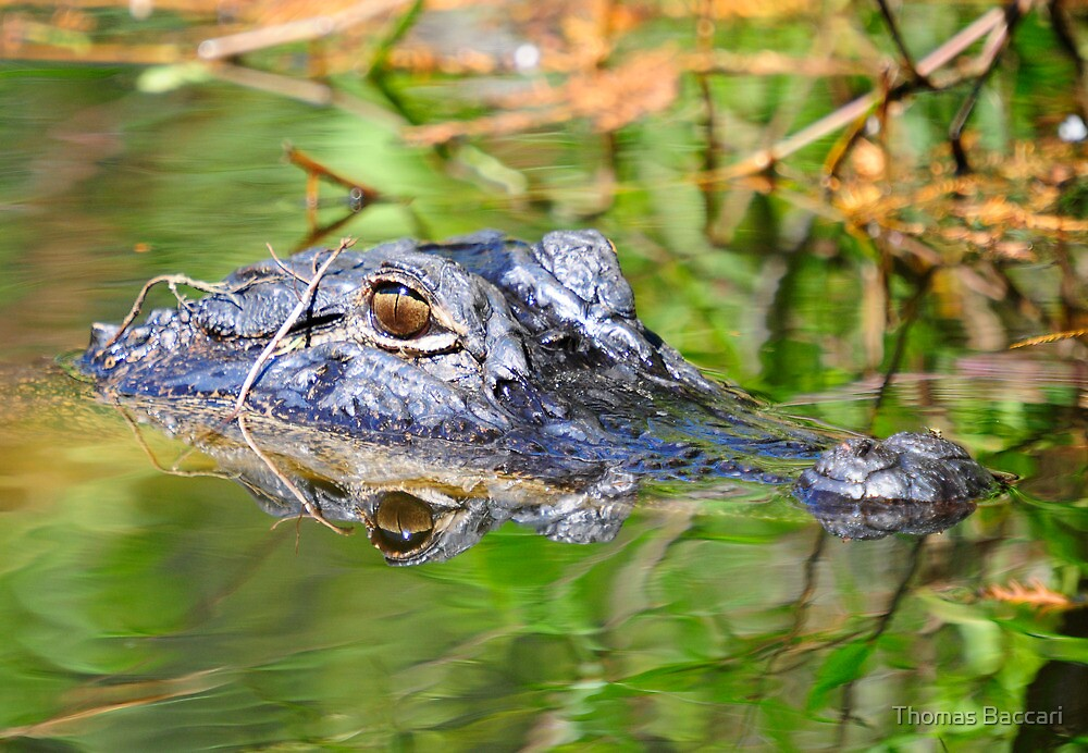 GATOR HEAD IN THE SWAMP by TJ Baccari Photography