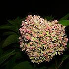 Hydrangea at Night by Virginian Photography (Judy)