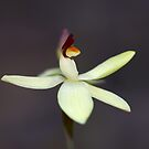 ~ Thelymitra antennifera ~ by LeeoPhotography