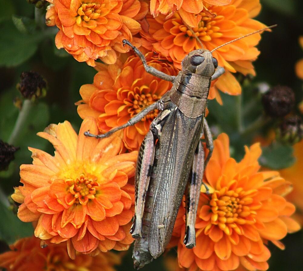 Grasshopper on my fall mums! by rasnidreamer