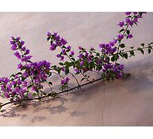 Purple on Pink Photographic Print